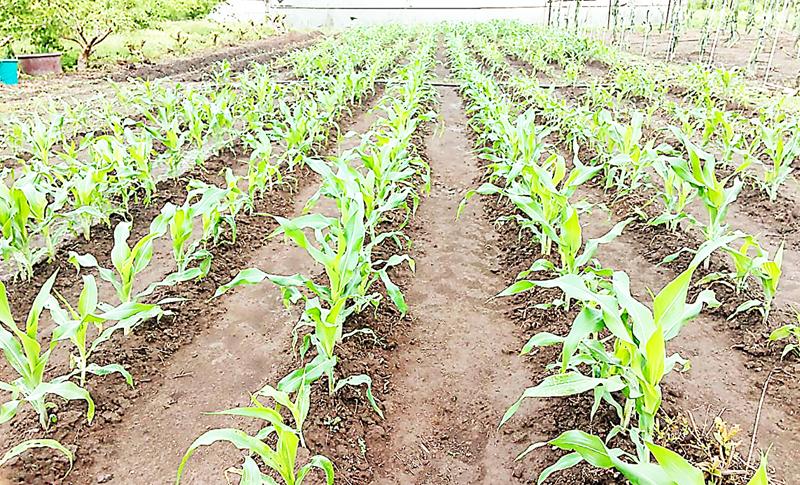 Investigación: DICTA evalúa nuevos materiales de maíz